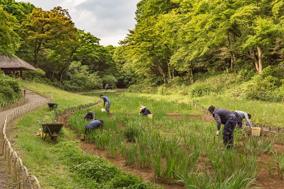 plantation des iris meiji jingu