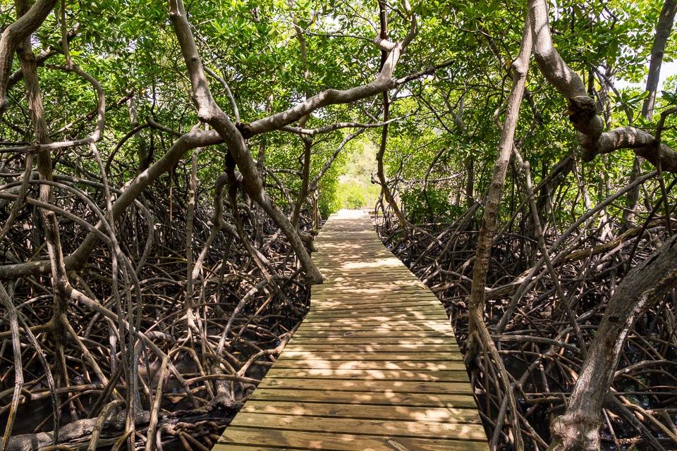 martinique mangrove
