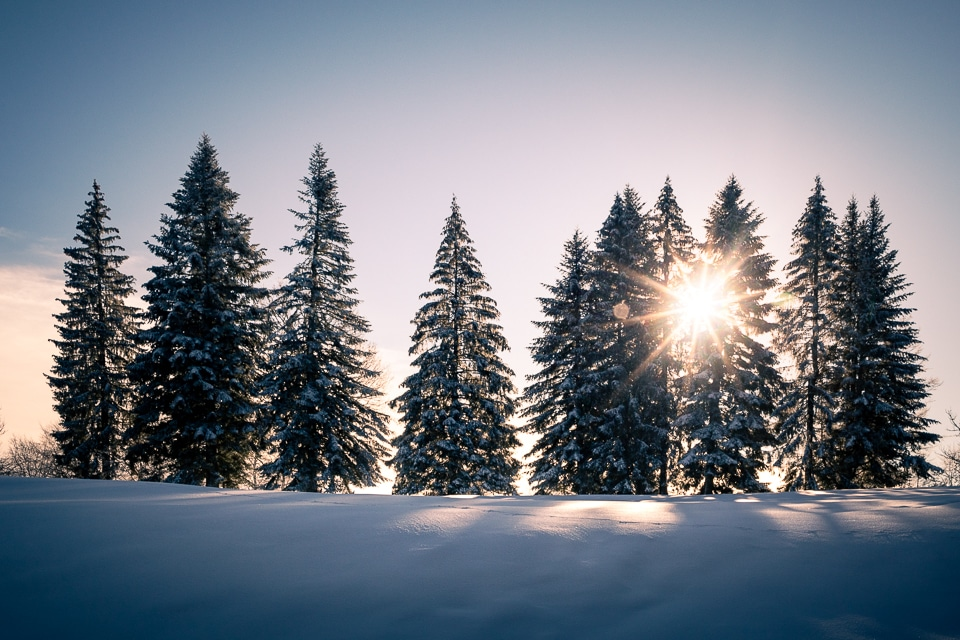 sapins hiver neige