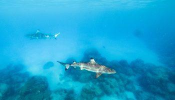 polynesie-plongee-requins-rangiroa