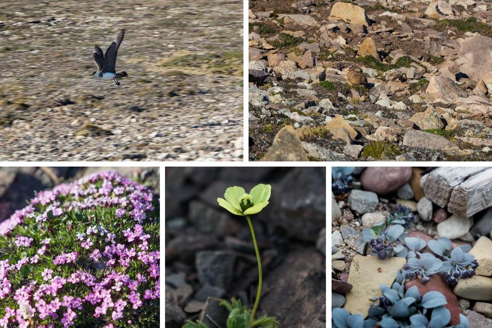 spitzberg-norvege-flore