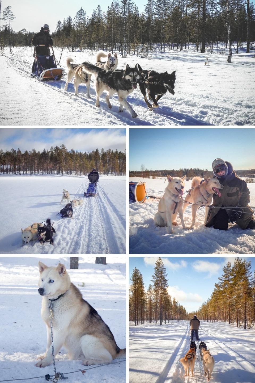 finlande-laponie-chien-de-traineau
