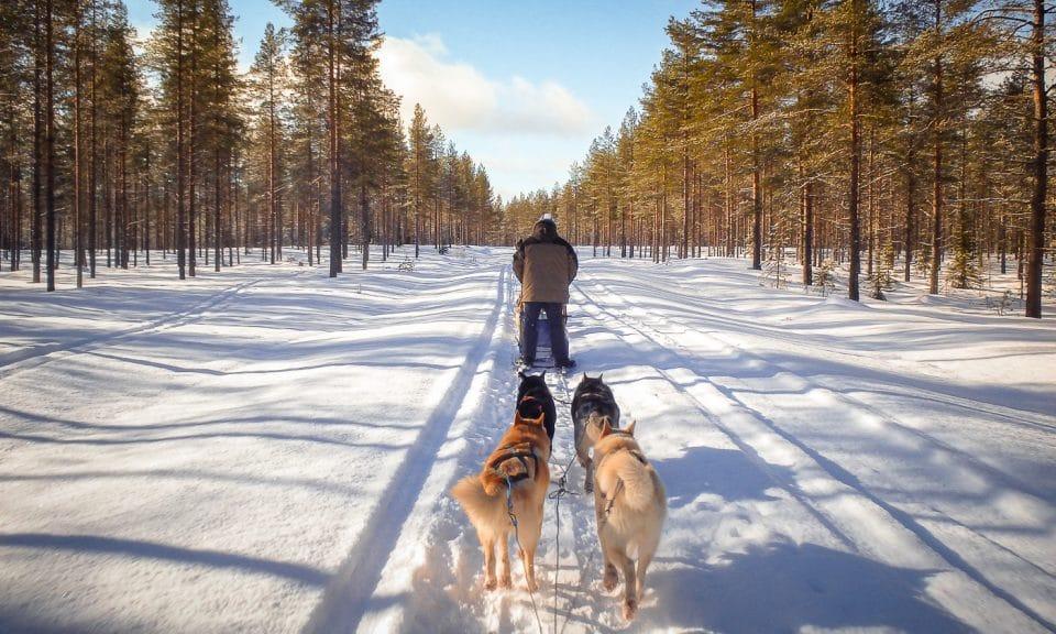 chien de traineau en laponie en finlande