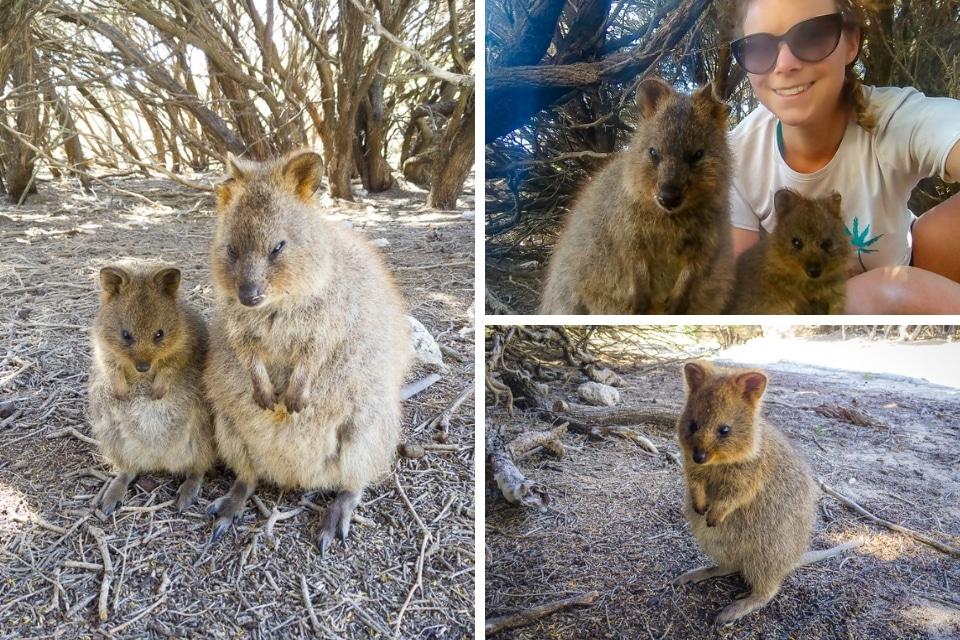 australie-ouest-rottnest-quokkas
