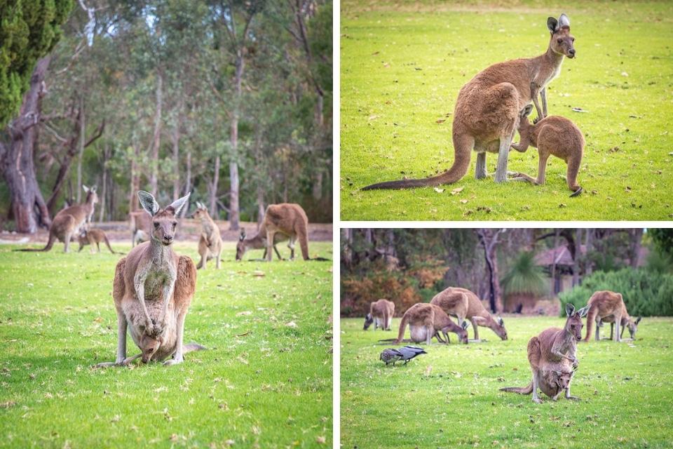 australie-ouest-yanchep-kangourou