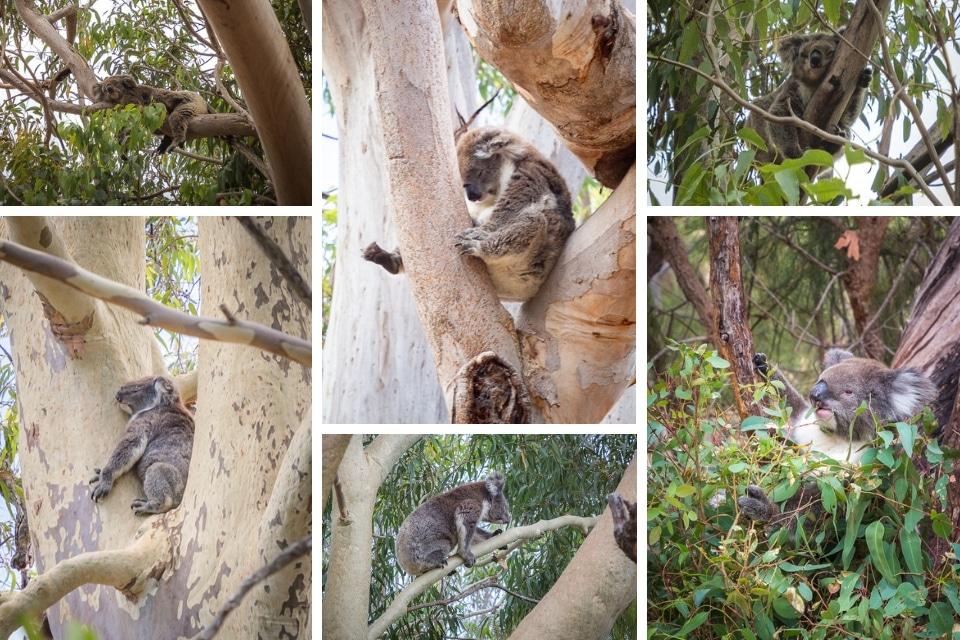 australie-ouest-yanchep-koalas