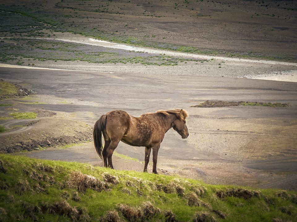 skaftafell-cheval