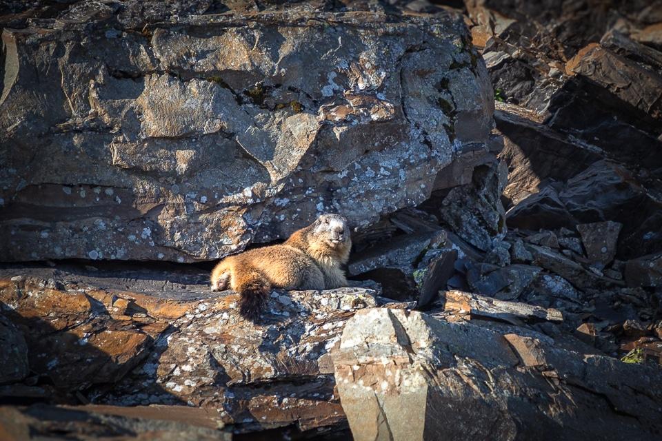 Fiz-jour3-marmotte