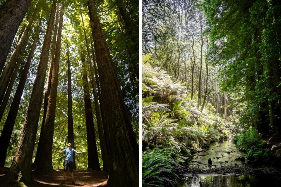 sequoias geants