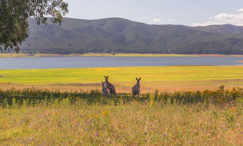 kangourous dans un champ