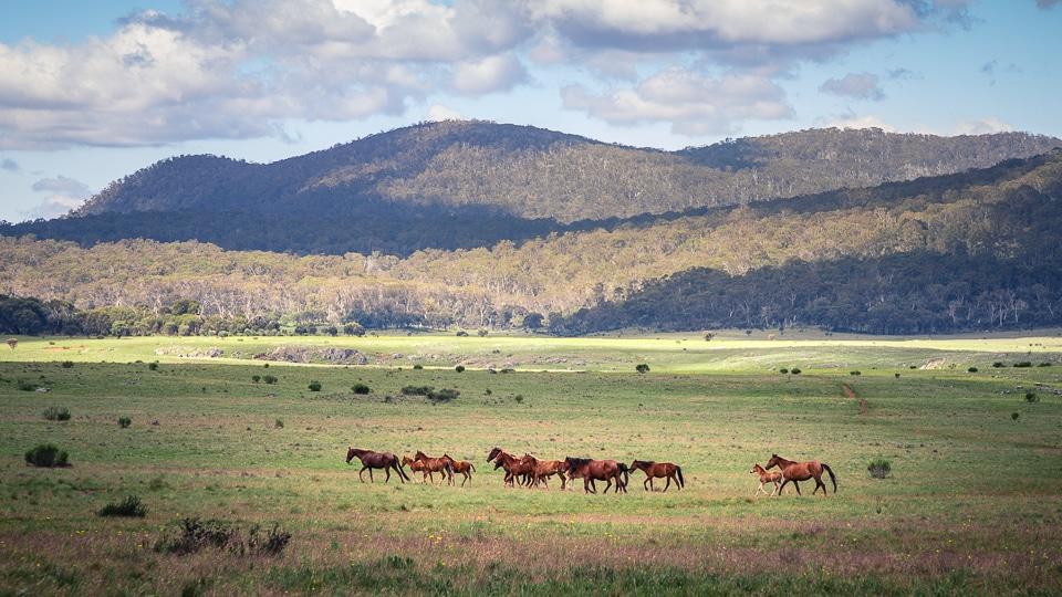 chevaux sauvages australie