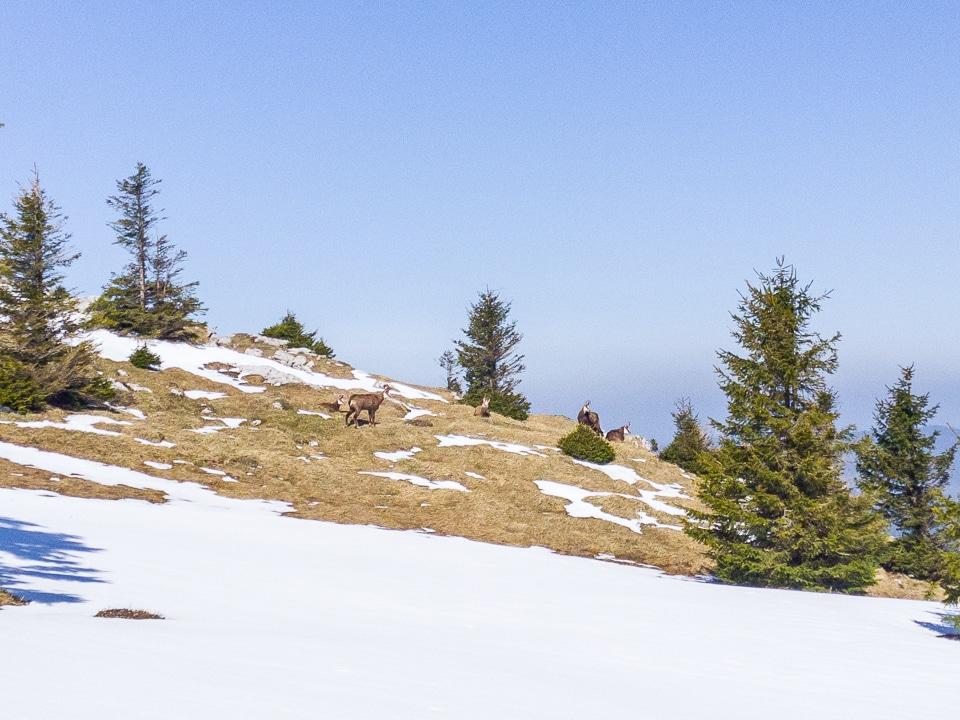 suisse-vaud-chasseron-chamois