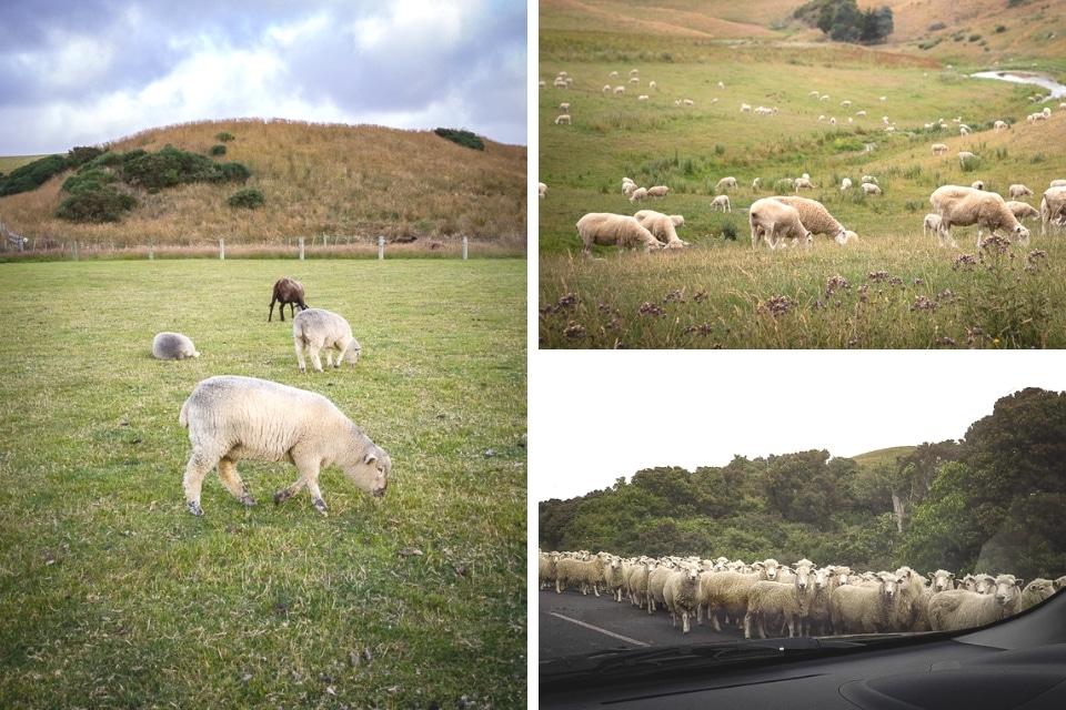 nouvelle zélande moutons