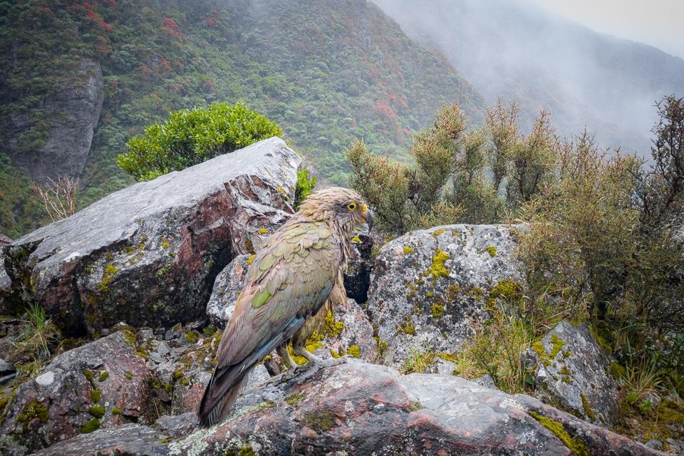 arthur's pass kea
