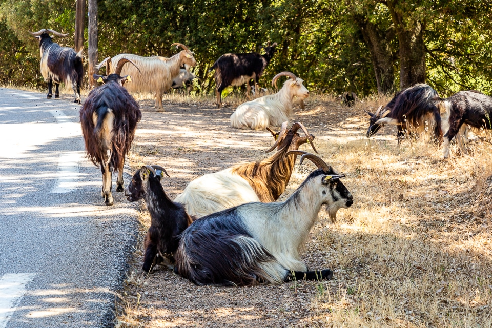 chèvre sauvage corse