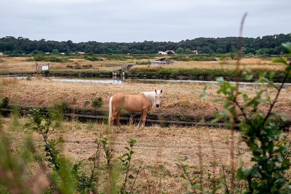 cheval dans le marais d'olonne