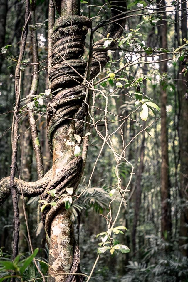 lianes dans le parc national du dorrigo