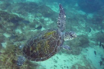 plongée en australie tortue