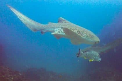 requins léopards en australie