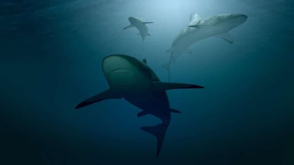 plongée en australie avec les requins